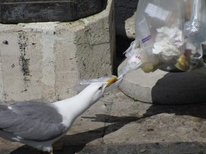 seagull getting into trash in southern california parking lot